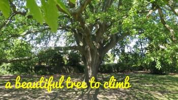 Turkey oak in Northwood park