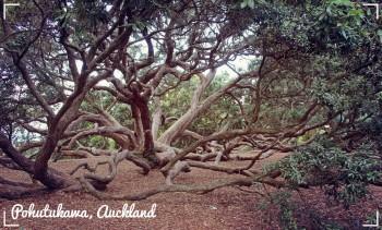 Paul's top trees Pohutujpg