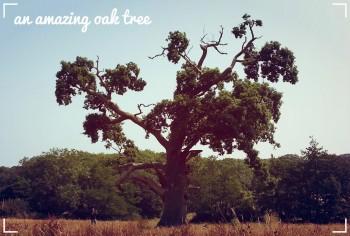 Retrenching oak tree near Quarr Abbey