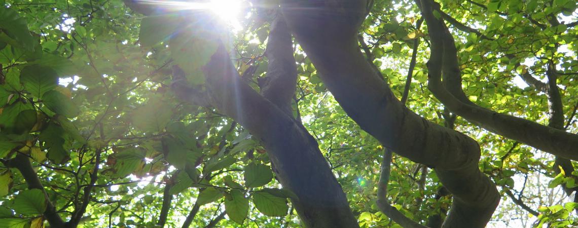 sunlight through a beech tree, tree top camping