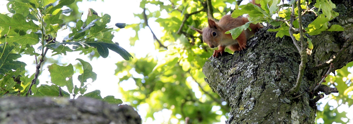 appley park orienteering page, red squirrel in an oak tree