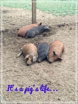 Pigs life