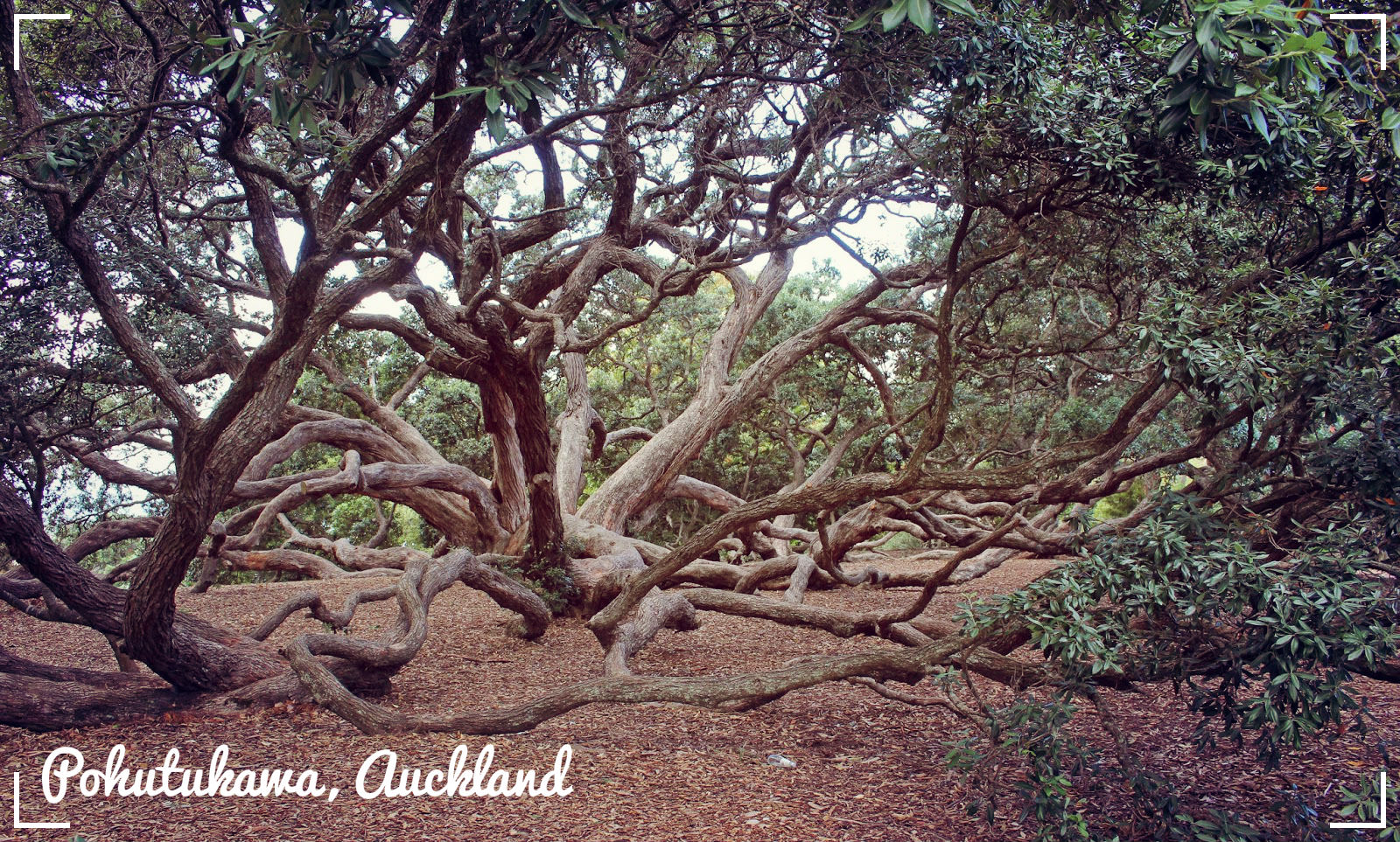 the pohutukawa tree essay essay 11 written text study (as90849) you will write one essay of at least 200 words on text(s) the pohutukawa tree by :bruce mason.
