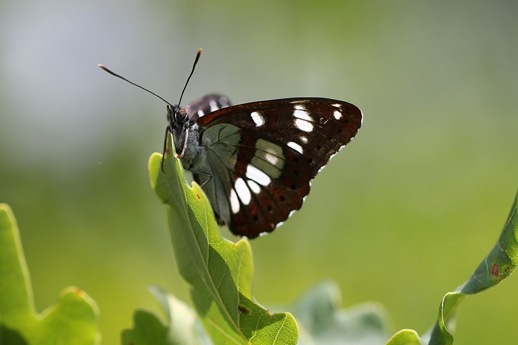 By Alastair Rae from London, United Kingdom (Southern White Admiral) [CC BY-SA 2.0 (http://creativecommons.org/licenses/by-sa/2.0)], via Wikimedia Commons