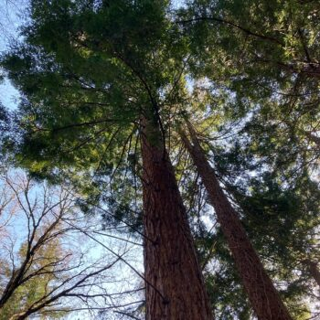 tall trees with blue sky behind